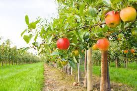 Jak pielęgnować drzewka owocowe w naszych ogrodach