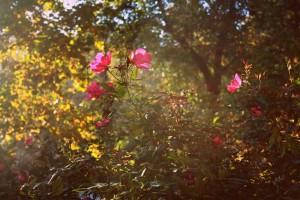 roses-245442_1280