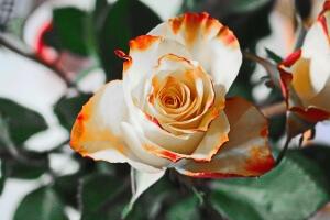 rose-235718_1280