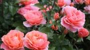 Piękny ogród różany